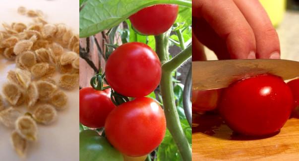 Tomatoes-life